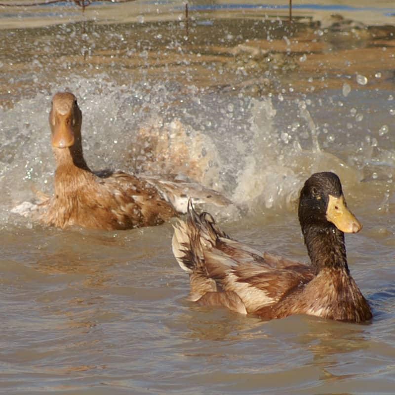 AkersFlock Buff Orpington Channel Splash