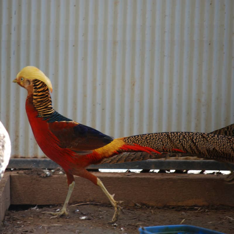 AkersFlock Golden Pheasant