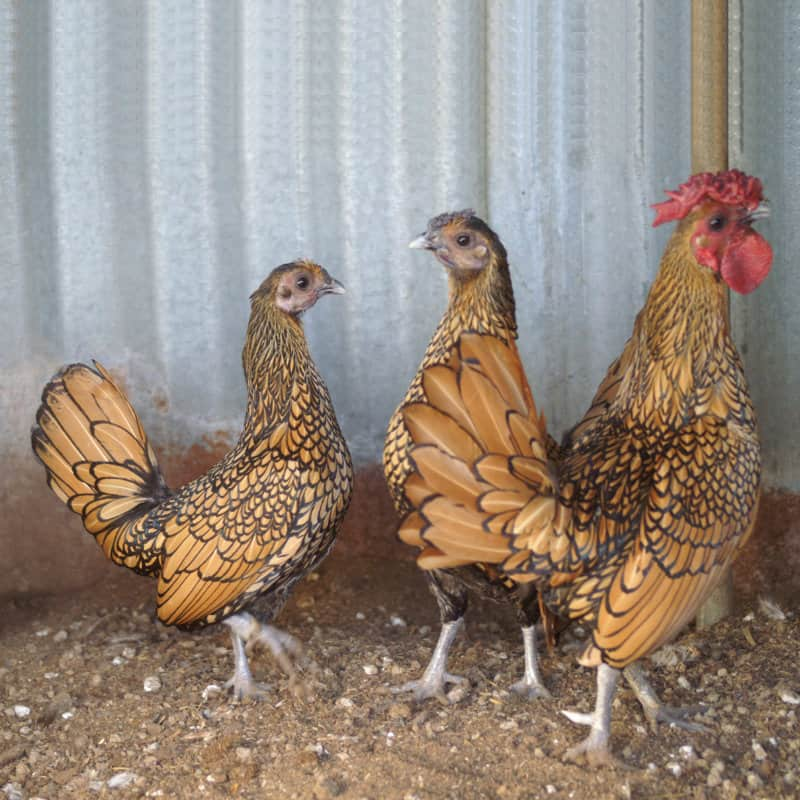 AkersFlock Golden Sebright Trio
