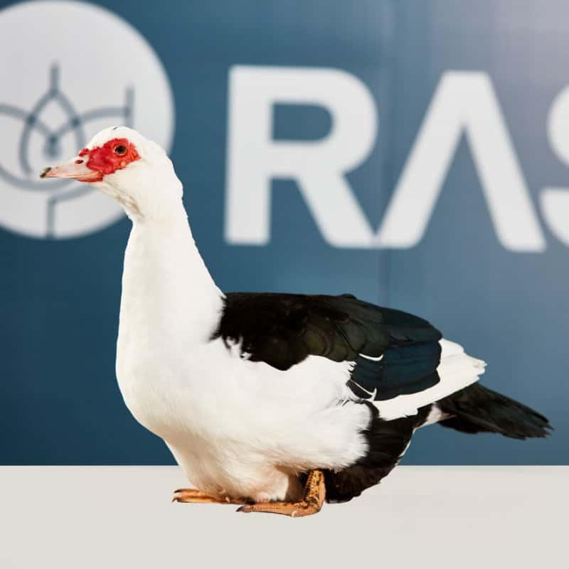 AkersFlock Muscovy 2017 Royal Melbourne Champion Bird