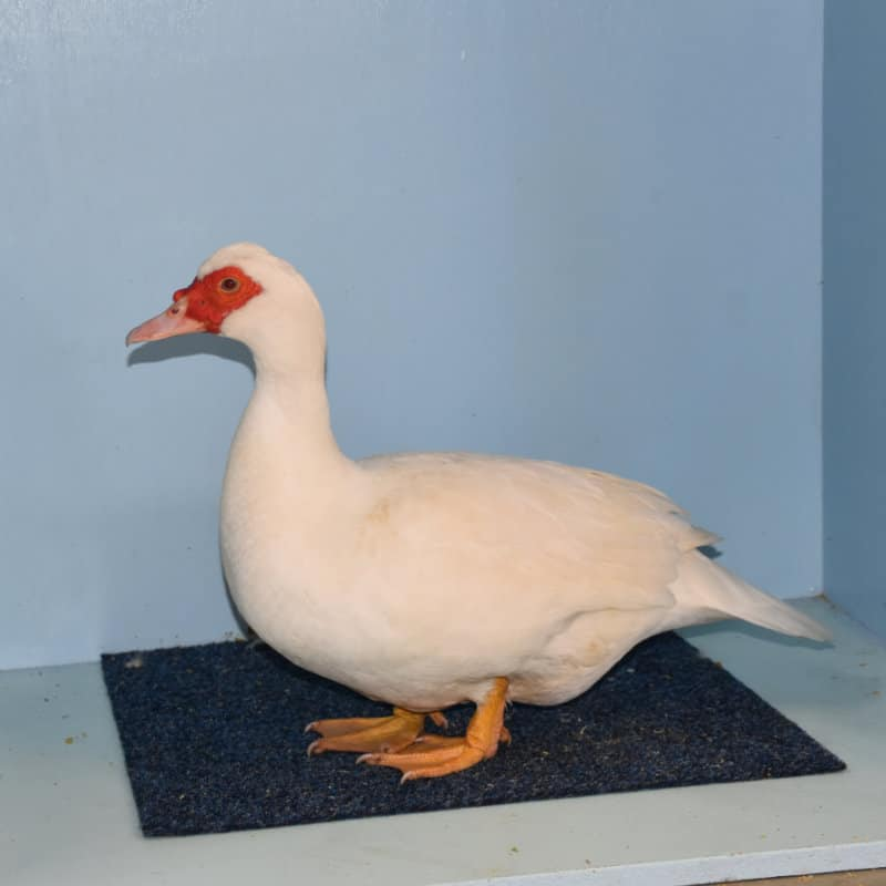 AkersFlock Muscovy 2018 VWA Spectacular Best White Muscovy