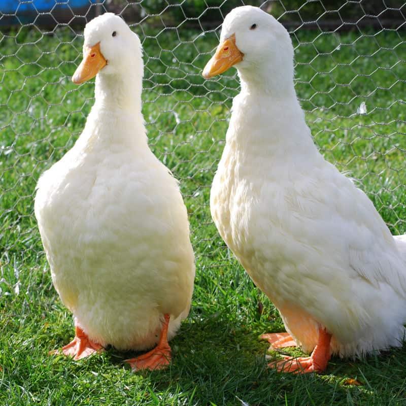 Birds - Akers Flock